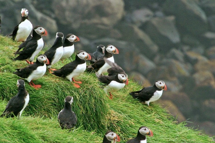 atlantic-puffin-inglshofi-iceland-img_3008-puffin-group-tight.jpg