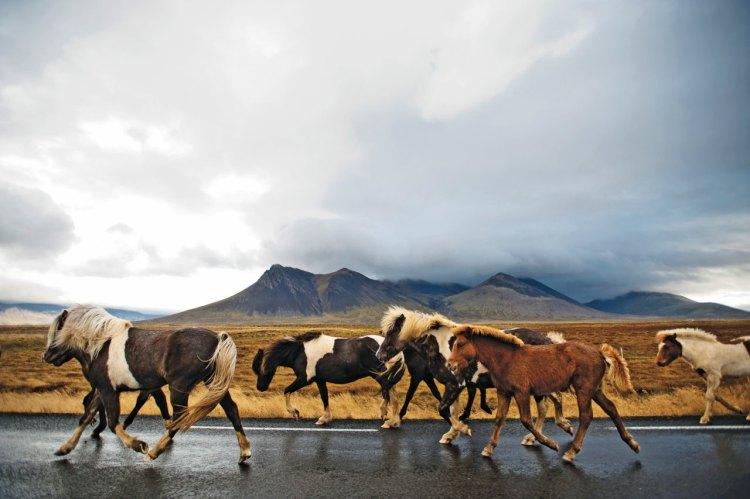 Icelandic-Horses.jpg