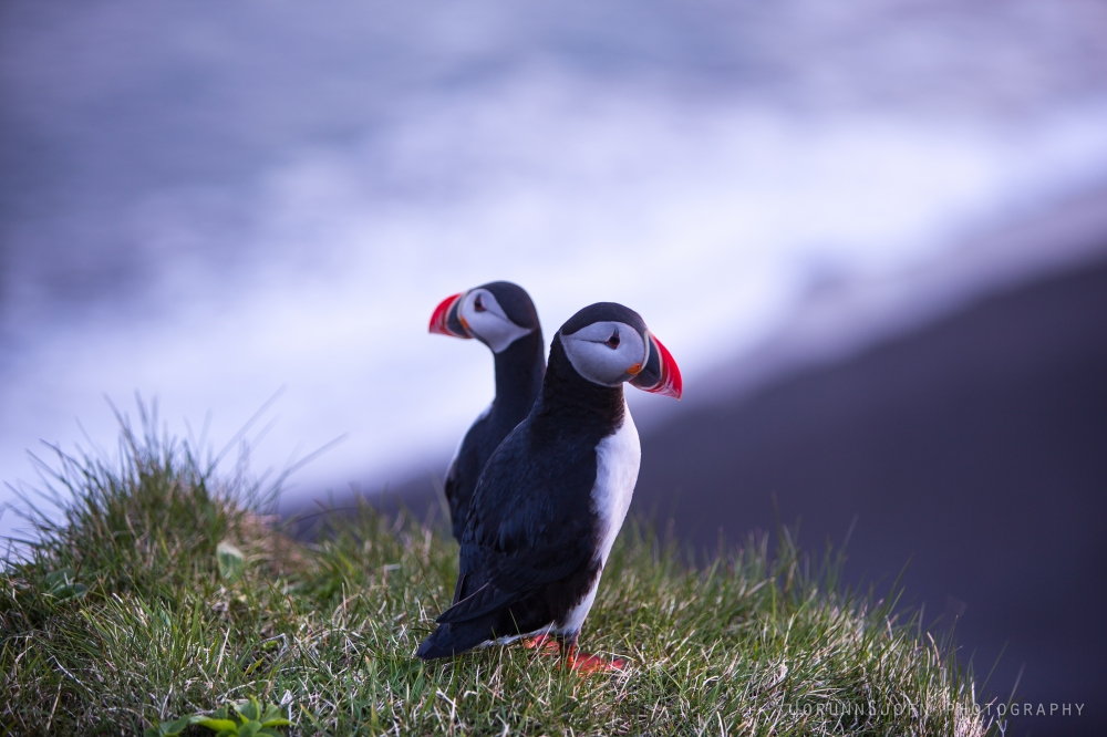 puffins-in-iceland-3